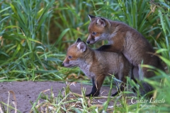 Fox-cubs