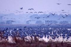Migration-of-cranes