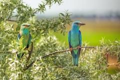 Alföldünk-kék-madara-Szalakóta-pár