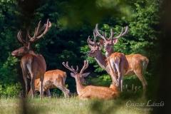 Erdőszéli-leskelődés