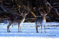 Fallow-deers
