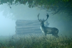 Ködszarvas