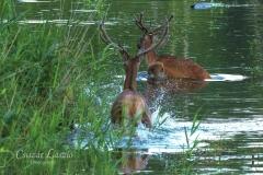 Fürdőző szarvasbikák