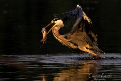 Gray-heron-fishing-in-the-morning