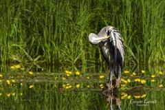 Gray-heron-preening