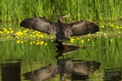Great-Cormorant-drying-wings