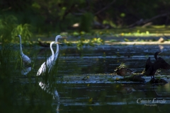 Great-egrets
