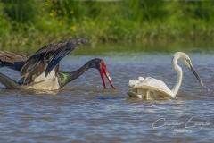Halászó-gólya-és-kócsag