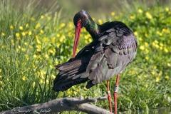 Jelölt-fekete-gólya