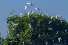Kócsagok-fája