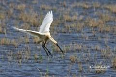 Landing-spoonbill